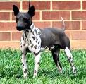 american-hairless-terrier-2