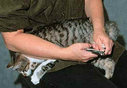clipping-a-cats-nails