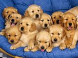 goldenjn-retreiver-puppies