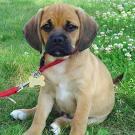 cute-puppy-on-leash