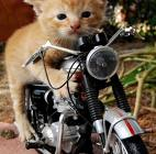 cat-on-motorcycle