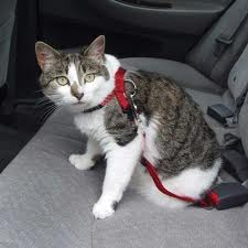 cat-in-car