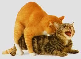 cats-in-heat
