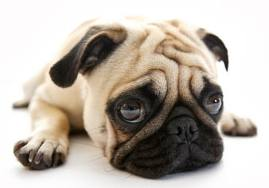 dog-cushing