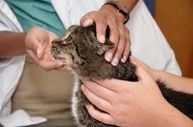 vet-examining-cat