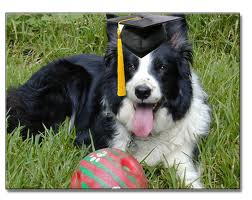 collie-graduation