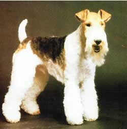 wire-terriers