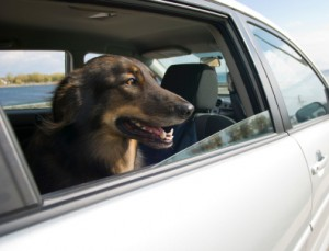 Car Ride for the Dog
