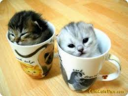 kittens-cups