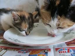 cats-drinking-milk