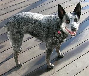 dog-australian