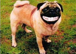 pug-smiling