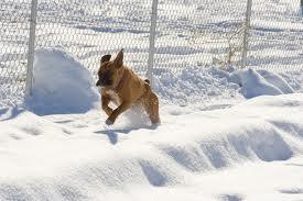boxer-snow