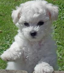 dog-bichon