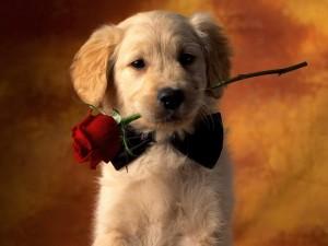 puppy-rose