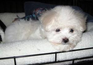 white-puppy