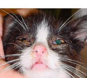cat-chlamydiosis