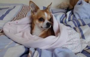 chihuahua-blanket
