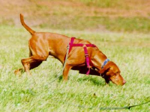 ground-tracking-dog