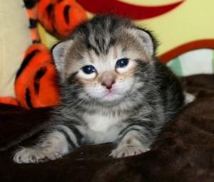 kitten-two-weeks