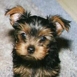 Most Inspiring Floppy Ears Brown Adorable Dog - CUTE-YORKIE  You Should Have_527455  .jpg
