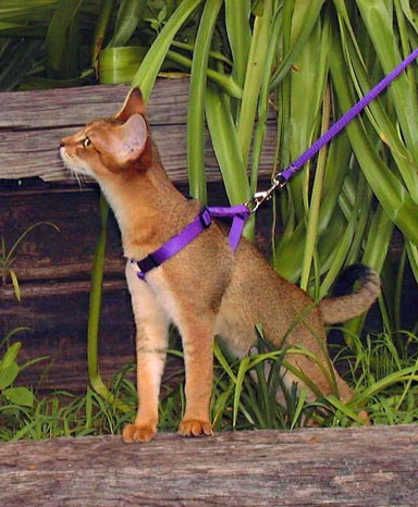 teaching a cat to walk on a leash the pet product guru. Black Bedroom Furniture Sets. Home Design Ideas