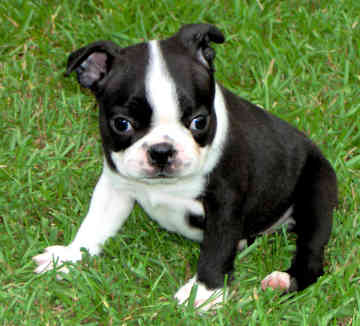 Small Breed Dogs that Don't Shed | The Pet Product Guru