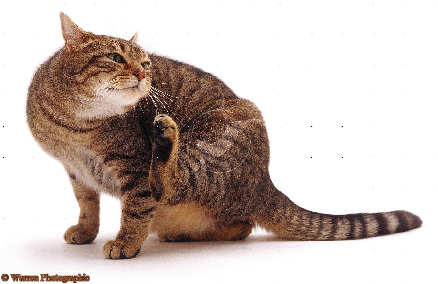 Чем выводят блох у кошек в домашних условиях