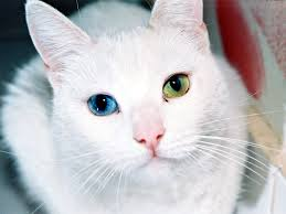 CAT DIFFERENT COLORED EYES