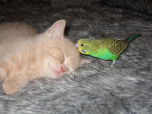 cat parakeet