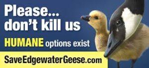 GEESE.edgewater