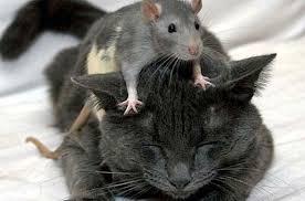 ratcat