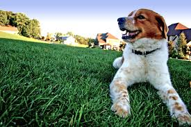 doglawn