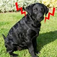 dogshock