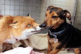 foxdog