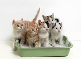 kittenlitter