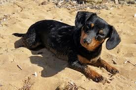 dogsand