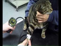 catbloodpressure