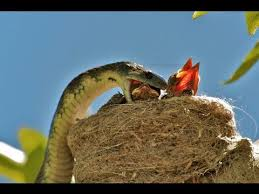 snakebirds